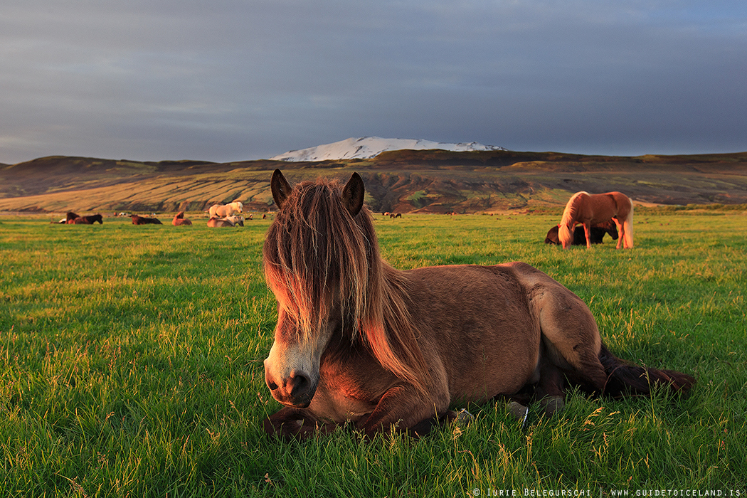 Icelandic Horse Trekking in the Land of Fire and Ice ... |Icelandic Horse Tours