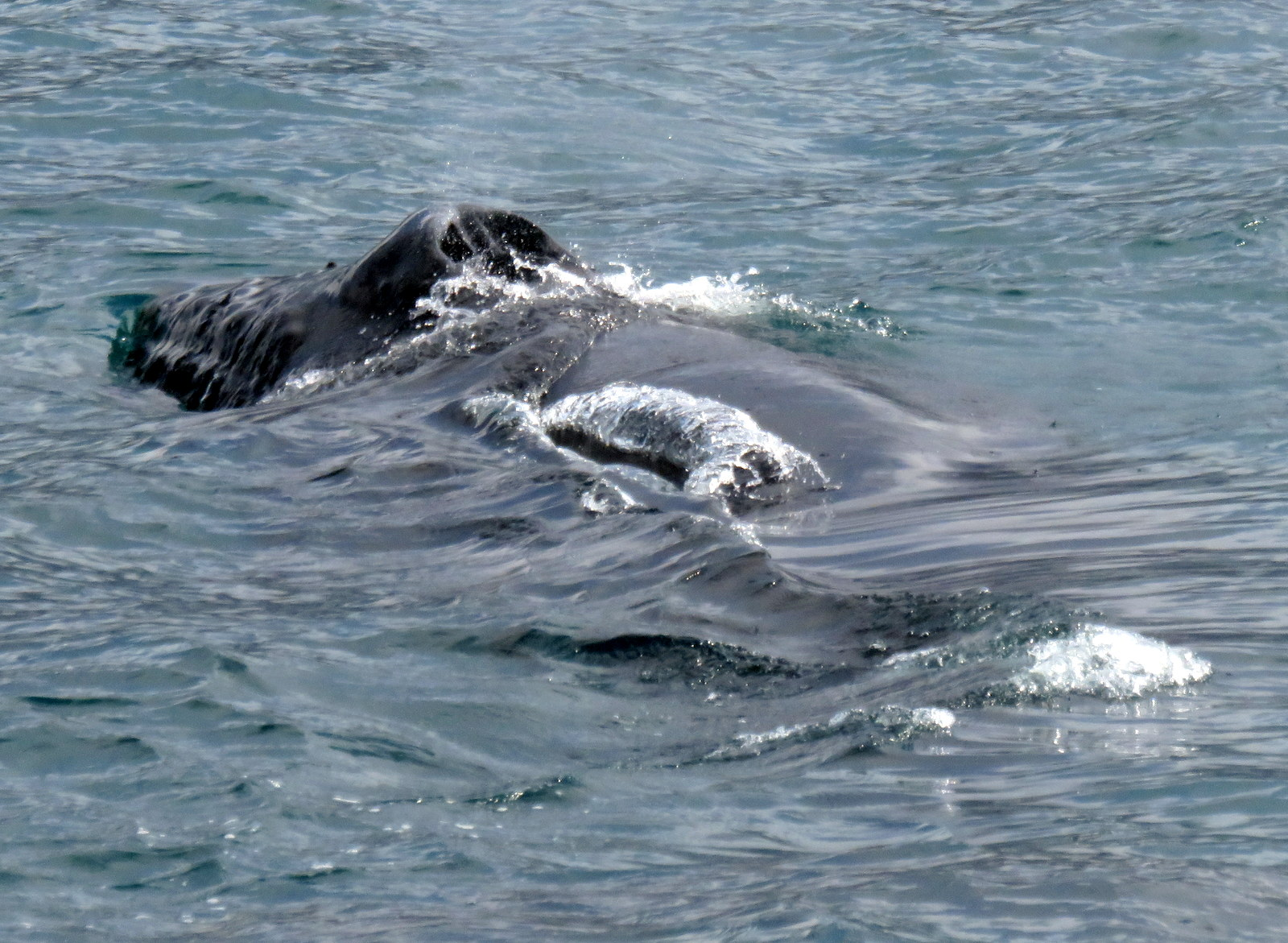humpback whales in abundance on a fantastic whale watching tour from akureyri in north iceland - Images Of Whales