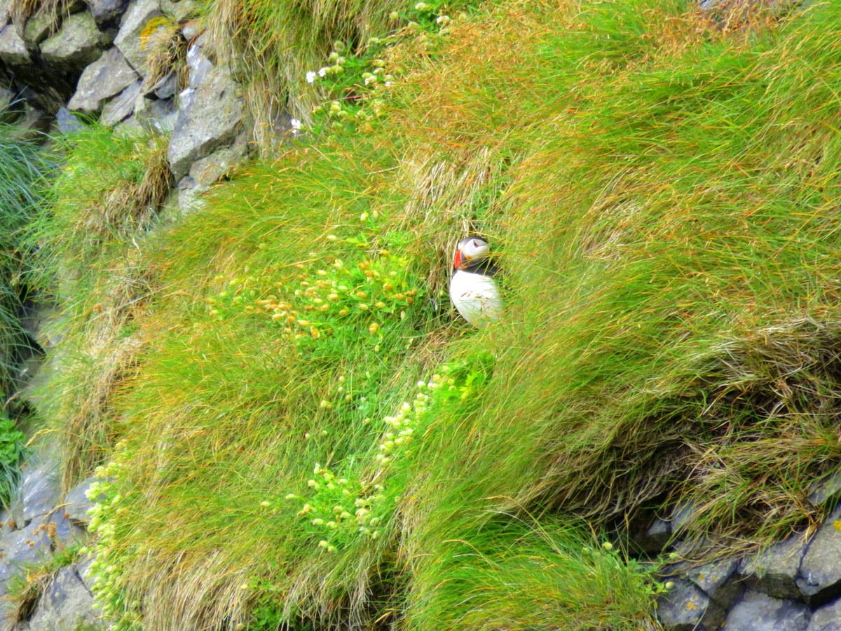 Westman Islands Puffins
