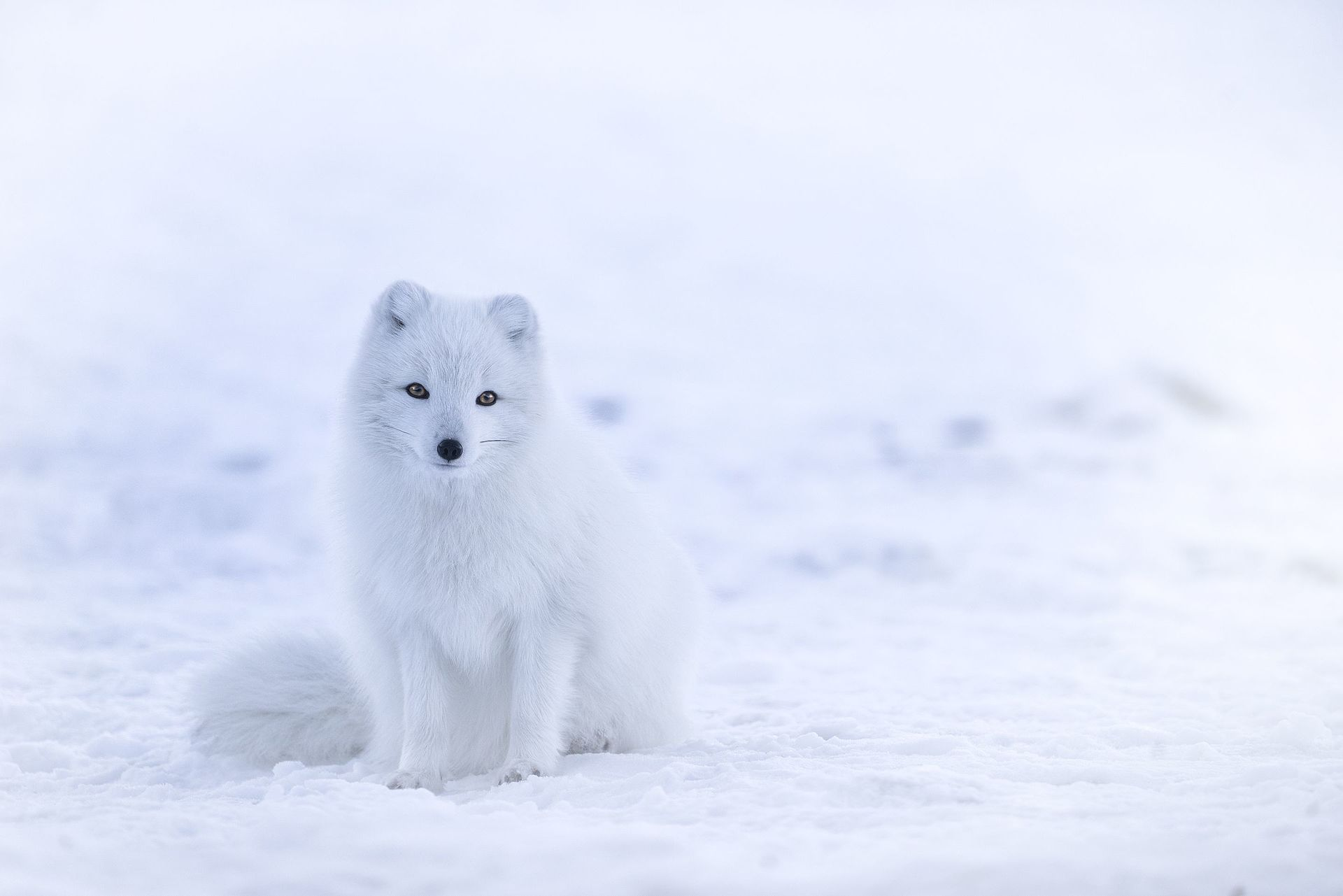 The Arctic Foxes In Icelande In Two Colour Morphs, White And Blue  White Foxes Change Their Coatpletely Between Seasons, Going From Snowwhite  In