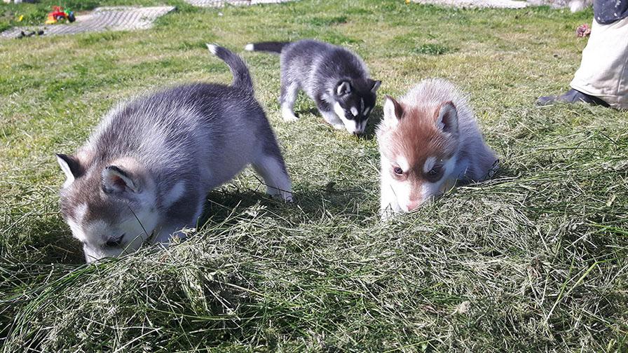 Huskys kennenlernen