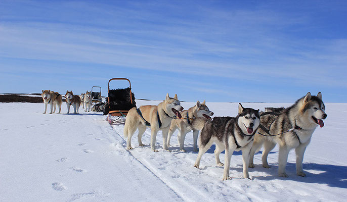 犬ぞりツアーのシベリアンハスキー