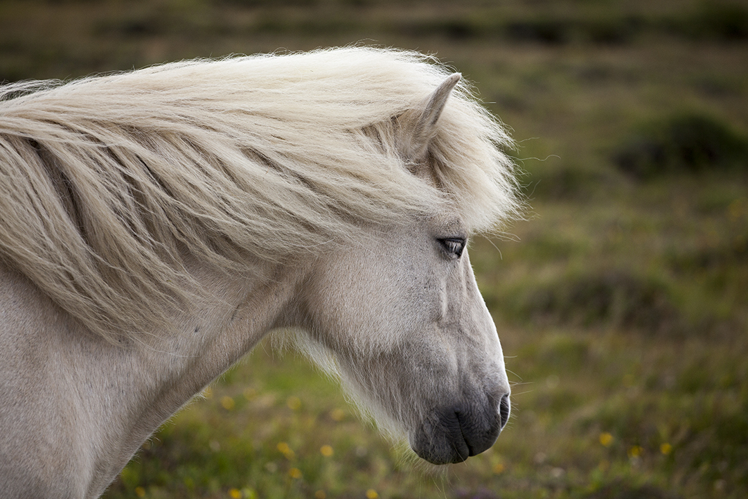 Iceland Day Trip - The Viking Horse & Golden Circle Afternoon |Icelandic Horse Tours