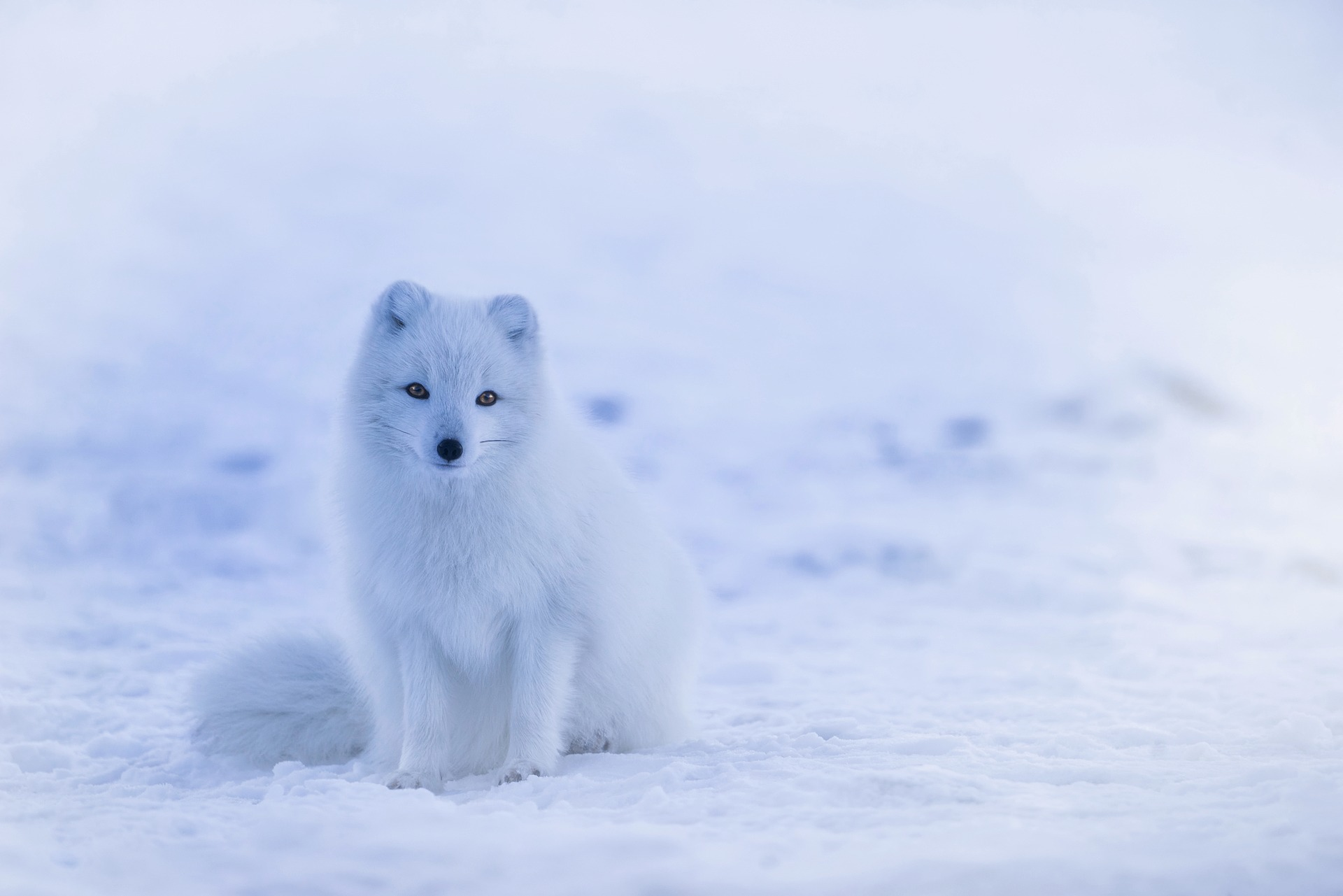 The arctic fox a tale of icelands only native mammal credit 12019 buycottarizona