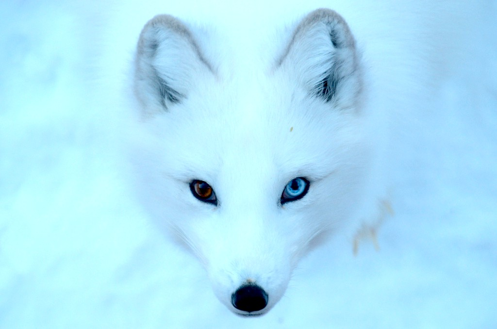 The Arctic Fox | A Tale of Iceland's Only Native Mammal
