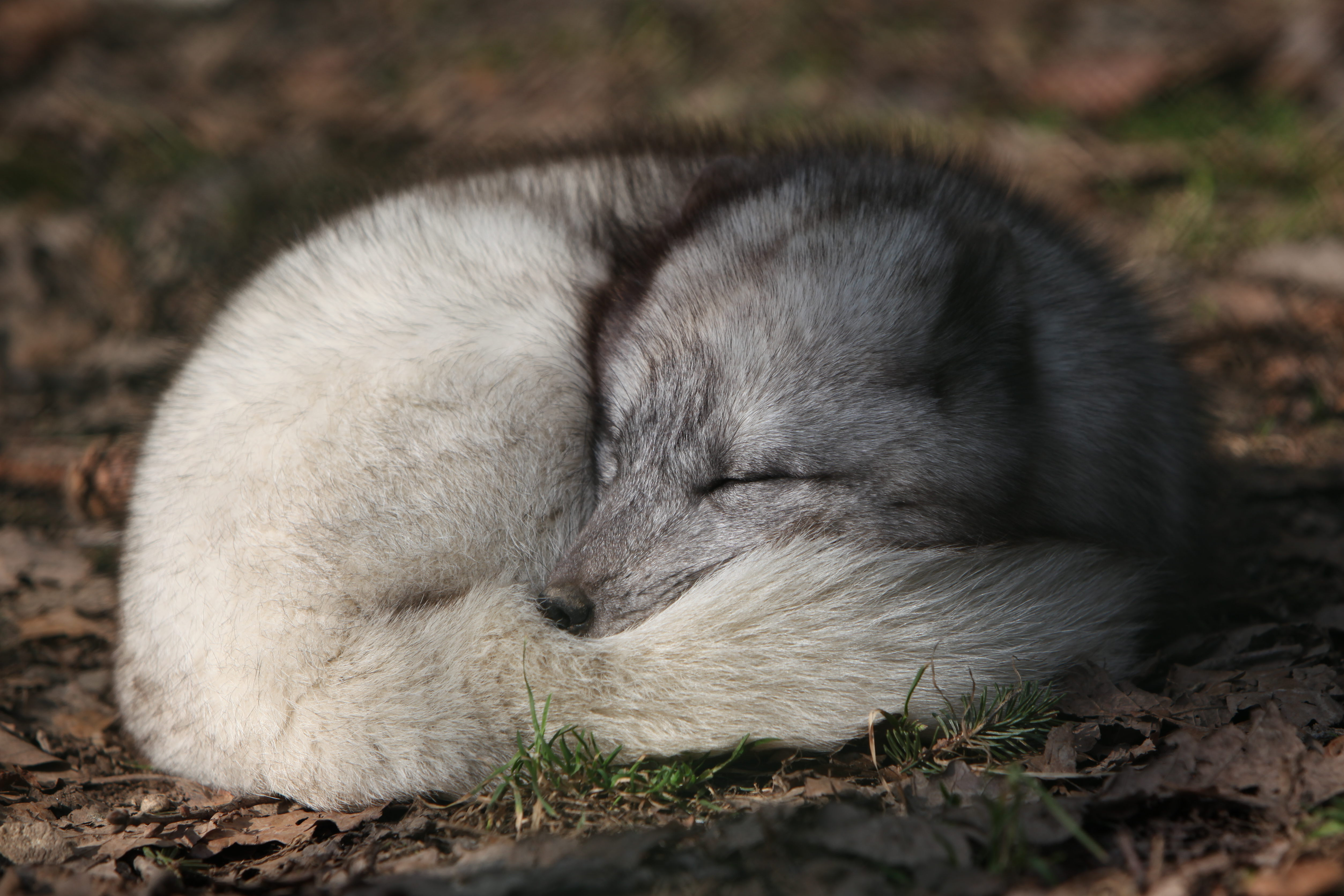Arctic Foxes Of Iceland